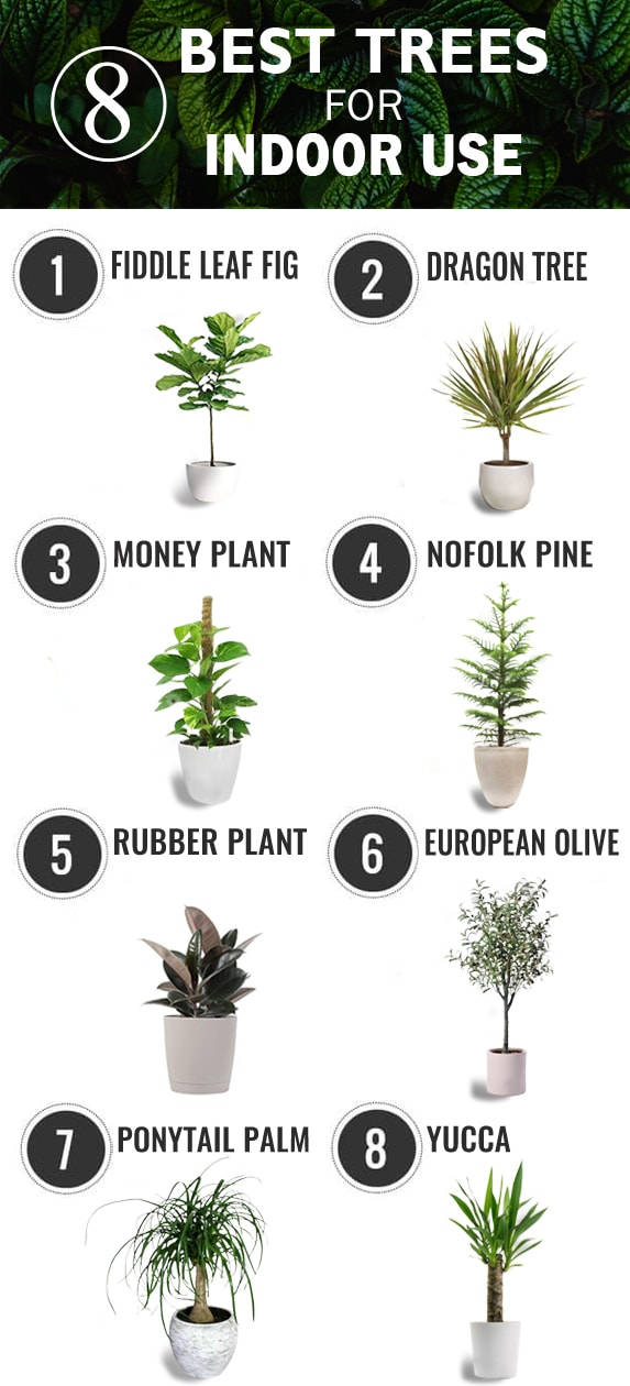 8 Best Trees For Indoor Use That Would Look Amazing The House Talk
